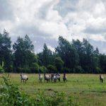 Viděli jsme divoké koně…v divočině u lotyšského moře