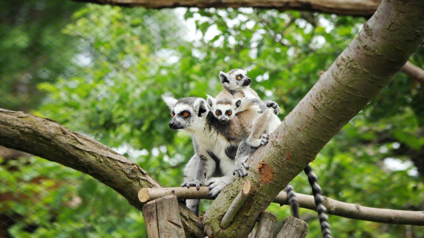 Zoopark Zájezd_lemuri kata